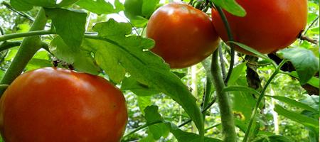 Tomates jardin saut de veau tomates carottes with tomates - Que faire avec des tomates du jardin ...