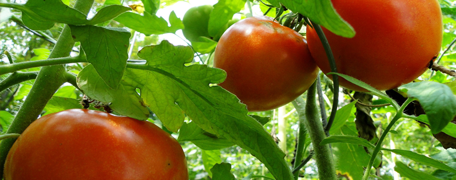 tomates_filiere