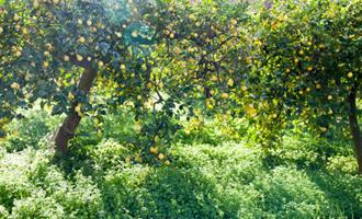 Nos citrons du champ à l'assiette