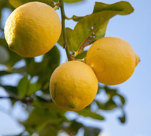 Filière citron en Italie Jardin BiO étic