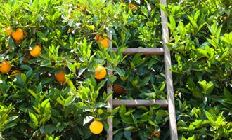 plusieurs orange dans un champs