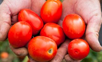 tomates italie dans les mains de l'agriculteur
