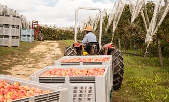 nombreuses pommes cultivées