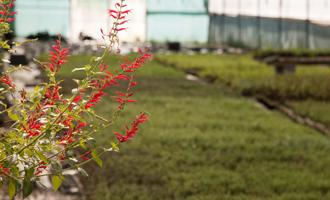 thym citronné fleurs Jardin BiO étic