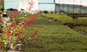 thym citronné fleurs jardin bio
