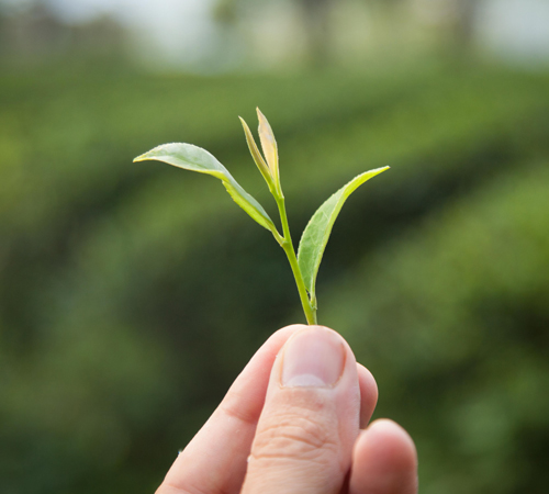 thé vert de chine