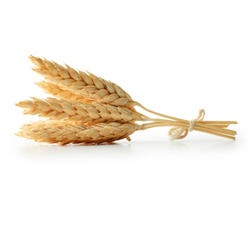 épis de blé dur