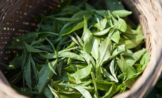 thé vert de chine jardin bio