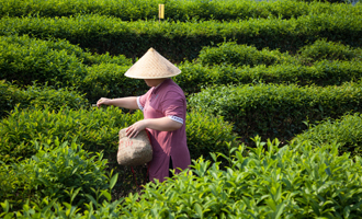 agricultrice thé vert de chine jardin bio