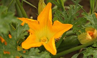 Fleur de courgette et courgette bio pour Jardin BiO étic
