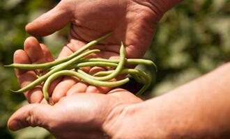 Haricot vert bio de Vienne pour Jardin BiO étic