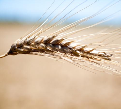 blé dur épis