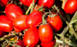 La filière tomate d'Italie pour Jardin BiO