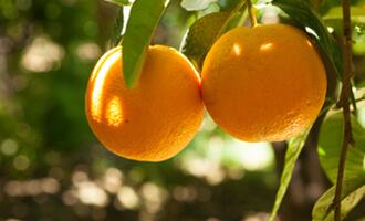 la filière orange bio de Grèce pour Jardin BiO étic