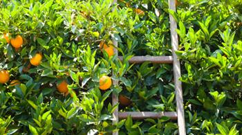 image filière orange dans un champs