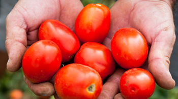 tomates d'italie jardin bio