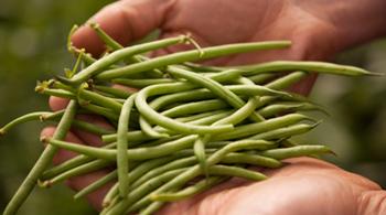 plusieurs haricots verts dans les mains de l'agriculteur