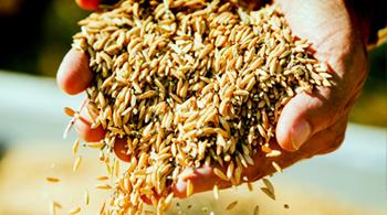 riz de camargue qui tombe des mains de l'agriculteur