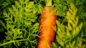 découvrez la carotte des Landes