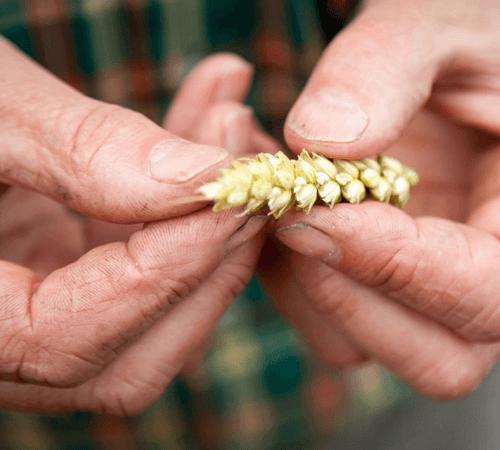 Le blé biscuitier cultivé en charente maritime pour Jardin BiO étic