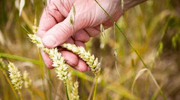 Découvrez la filière blé biscuitier et nos biscuits bio Jardin BiO étic