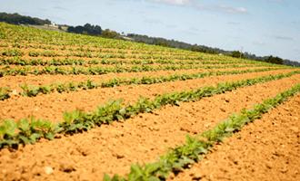 Champs de culture de haricots rouges et flageolets pour Jardin BiO