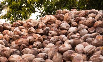Des noix de coco du Sri Lanka pour la filière bio Jardin BiO étic