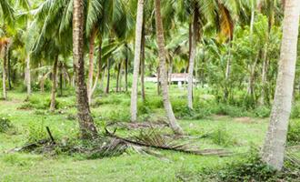 Les champs de noix de coco bio pour Jardin BiO étic au Sri Lanka